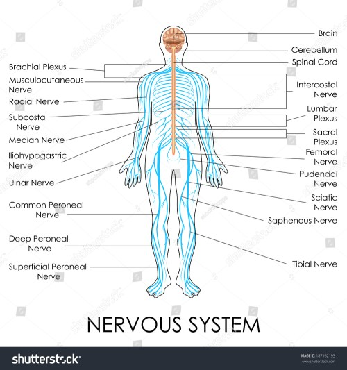 small resolution of vector illustration of diagram of nervous system