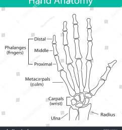 vector illustration of human hand skeletal anatomy bone structure diagram educational materials medical [ 1386 x 1600 Pixel ]