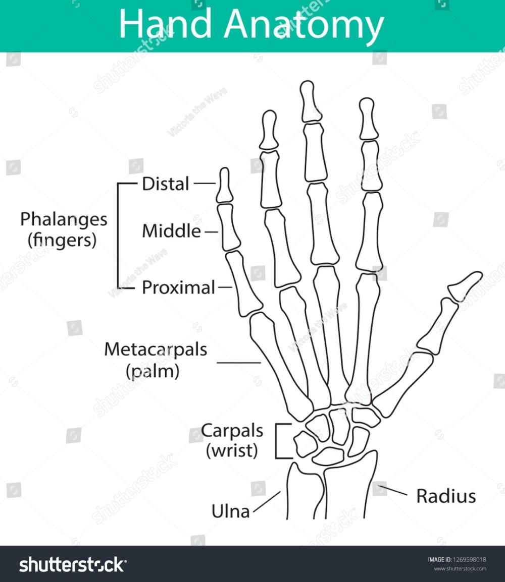 medium resolution of vector illustration of human hand skeletal anatomy bone structure diagram educational materials medical