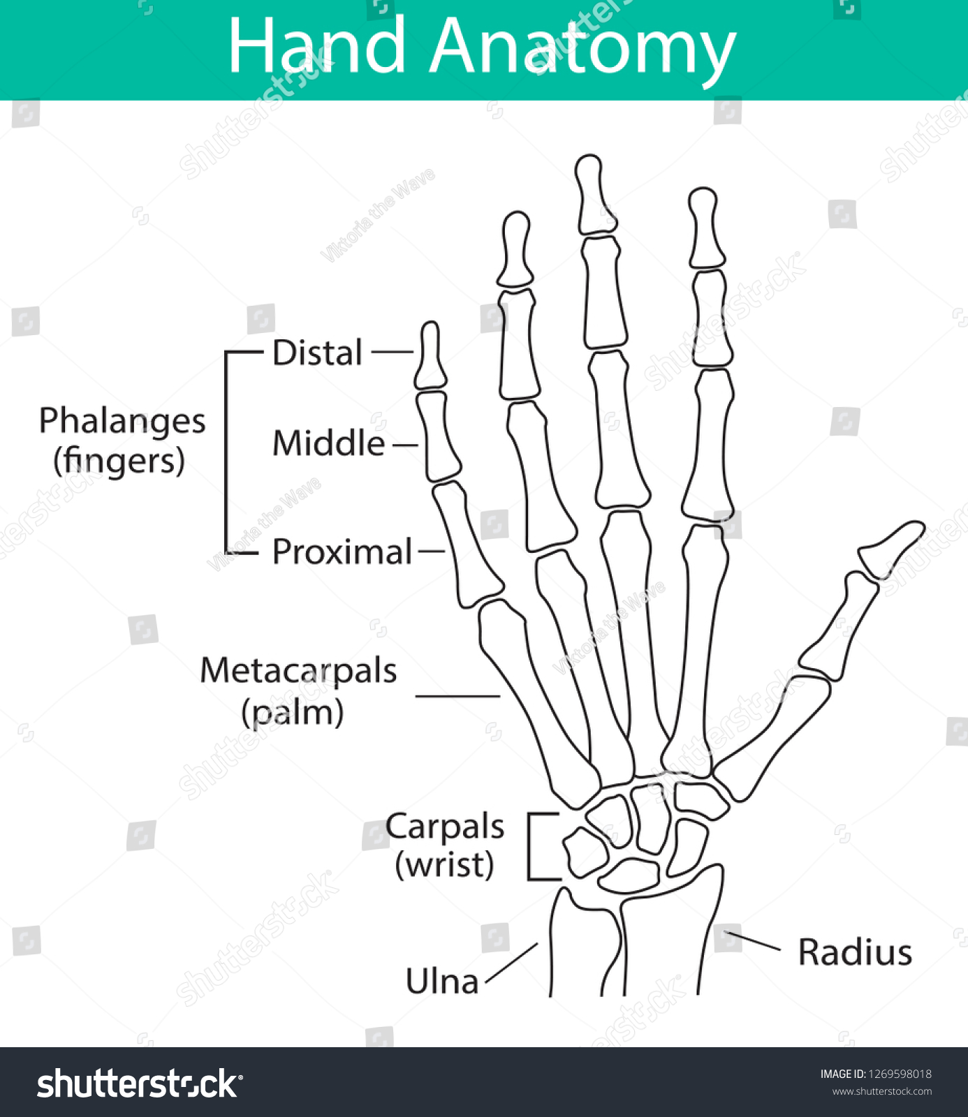 hight resolution of vector illustration of human hand skeletal anatomy bone structure diagram educational materials medical