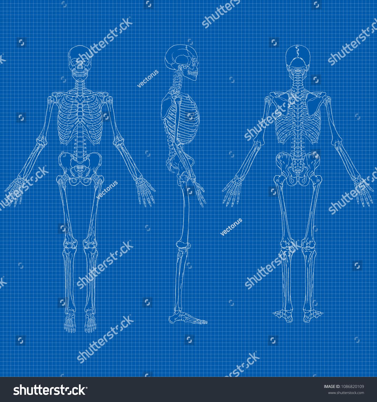 hight resolution of vector illustration of human skeleton drawing