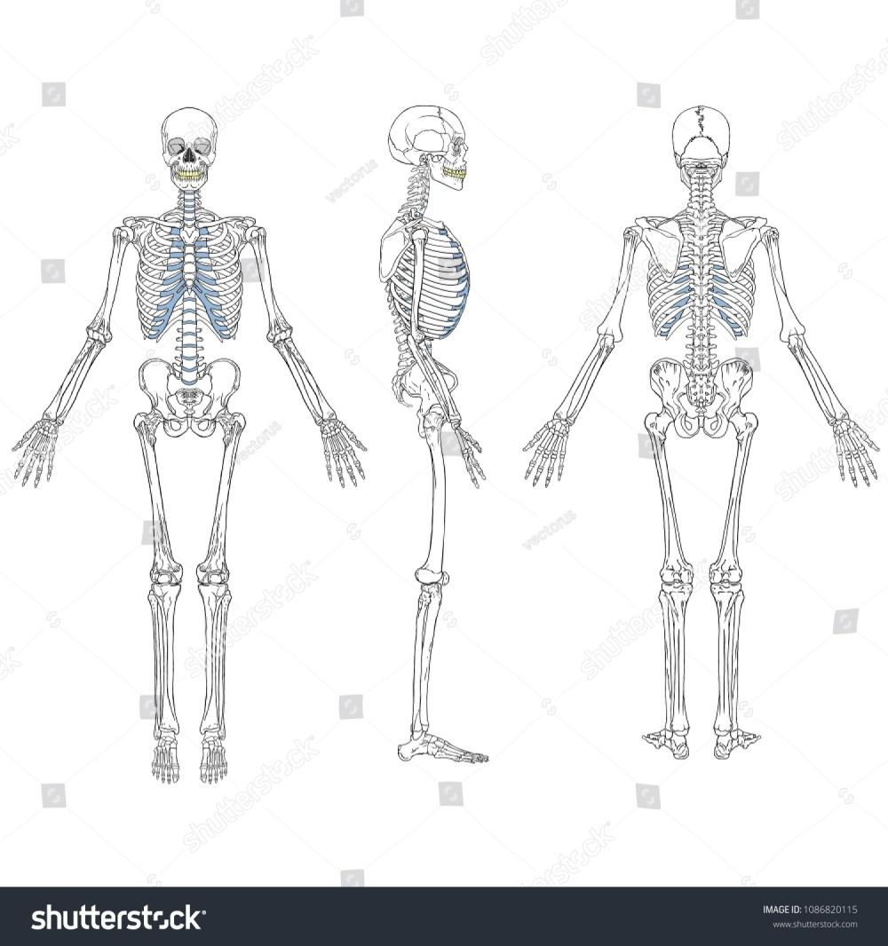 medium resolution of vector illustration of human skeleton vector drawing