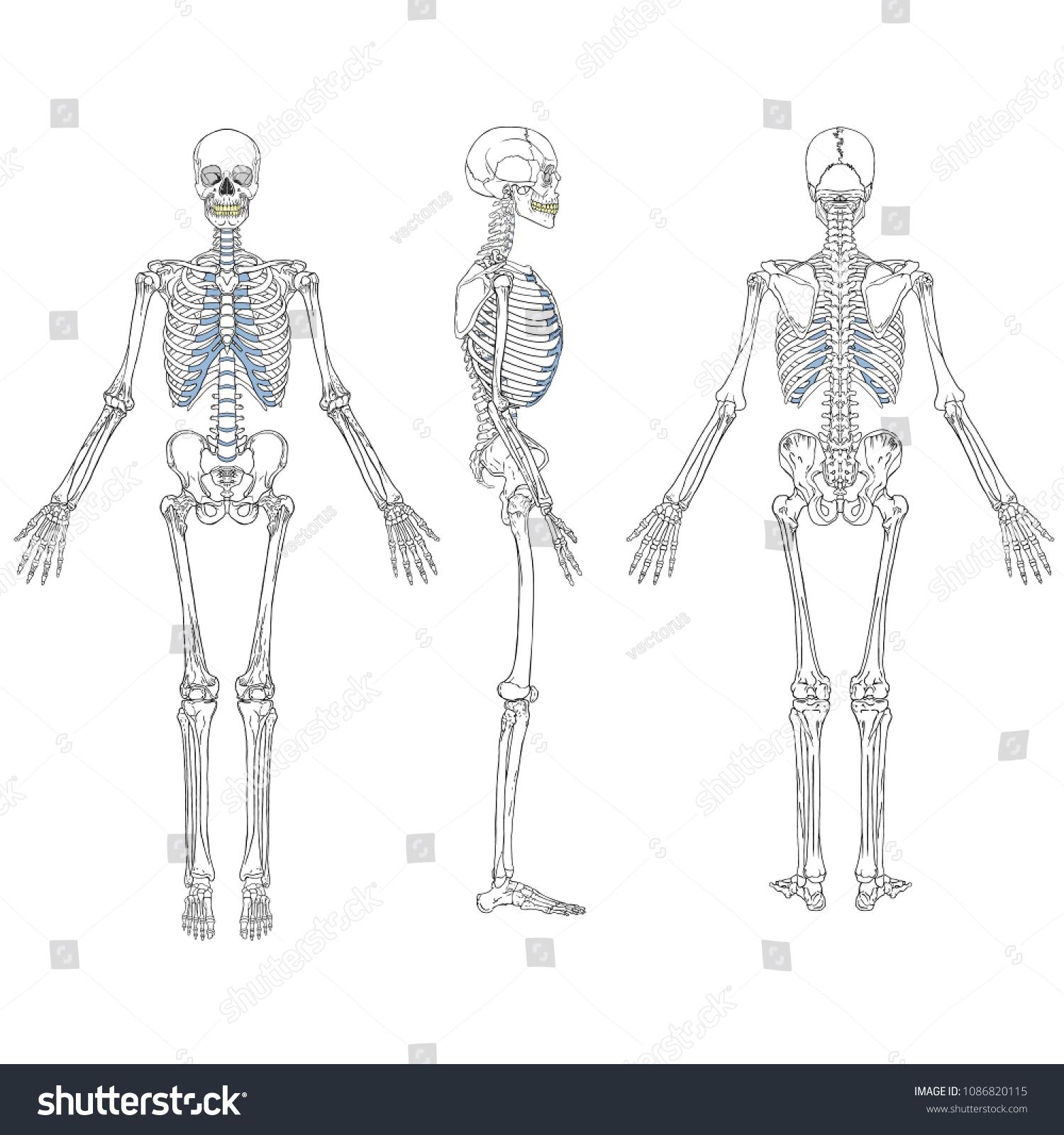 hight resolution of vector illustration of human skeleton vector drawing