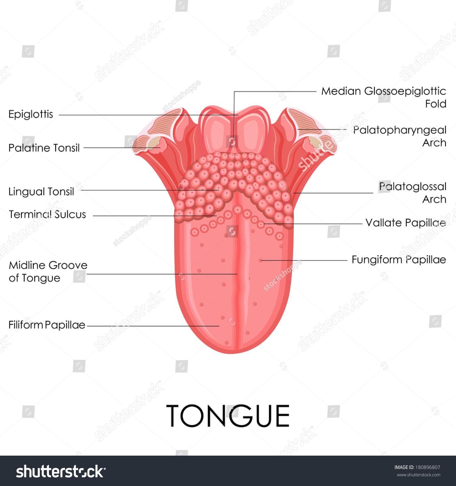 health tongue diagram international 4700 wiring pdf vector illustration human anatomy stock