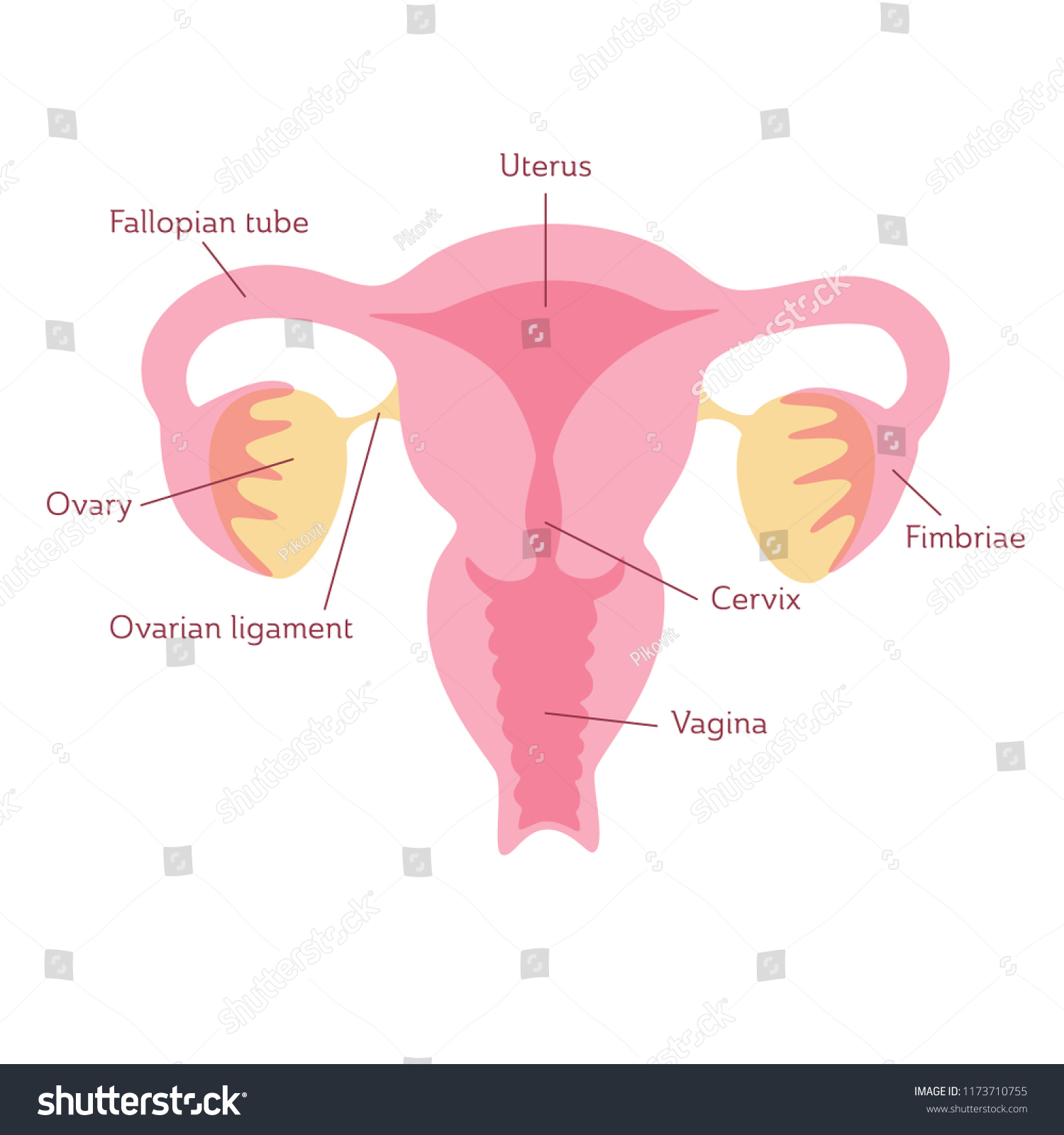 hight resolution of vector isolated illustration of female reproductive system anatomy uterus cervix ovary fallopian