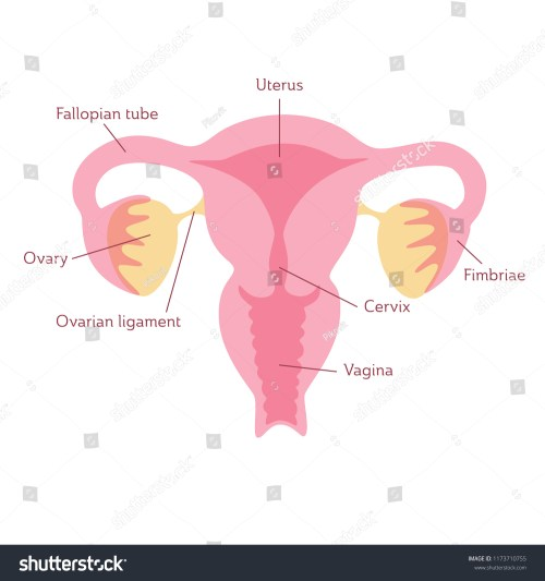 small resolution of vector isolated illustration of female reproductive system anatomy uterus cervix ovary fallopian