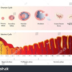 Menstrual Cycle Diagram With Ovulation Hyundai Accent Wiring Vector Chart Showing Ovarian Stock