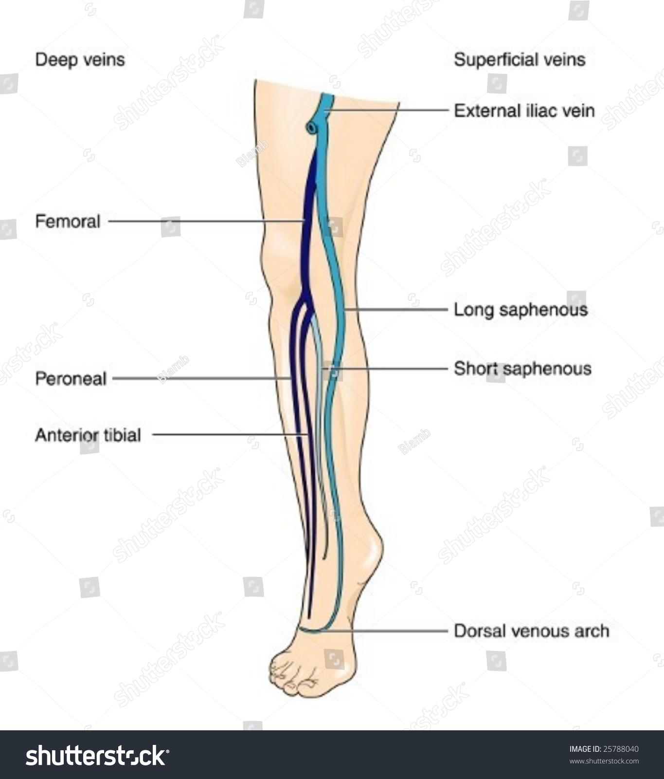 leg venous diagram 120 240 single phase motor wiring veins labeled stock vector 25788040 shutterstock