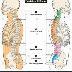 Typical Thoracic Vertebrae Diagram 12 Volt Ammeter Wiring Vertebral Column Human Body Anatomy Infograpic Stock
