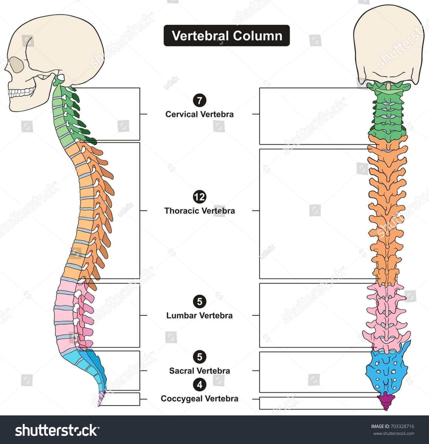 typical thoracic vertebrae diagram parts of a volcano vertebral column human body anatomy infograpic stock