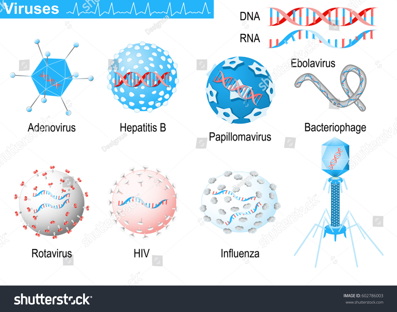 Viruses Diagram Showing Shapes Virions Bacteriophage Stock