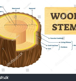 wood stem vector illustration educational labeled tree rings structure cut cross section with rays  [ 1500 x 1126 Pixel ]