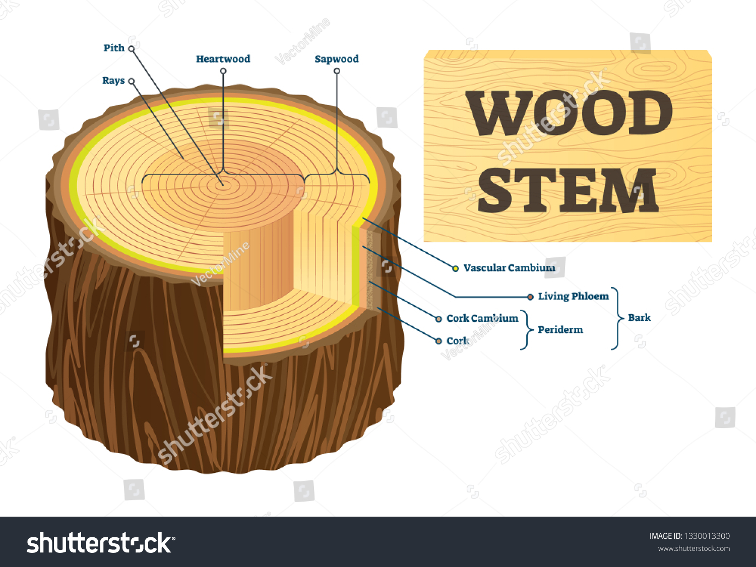 hight resolution of wood stem vector illustration educational labeled tree rings structure cut cross section with rays