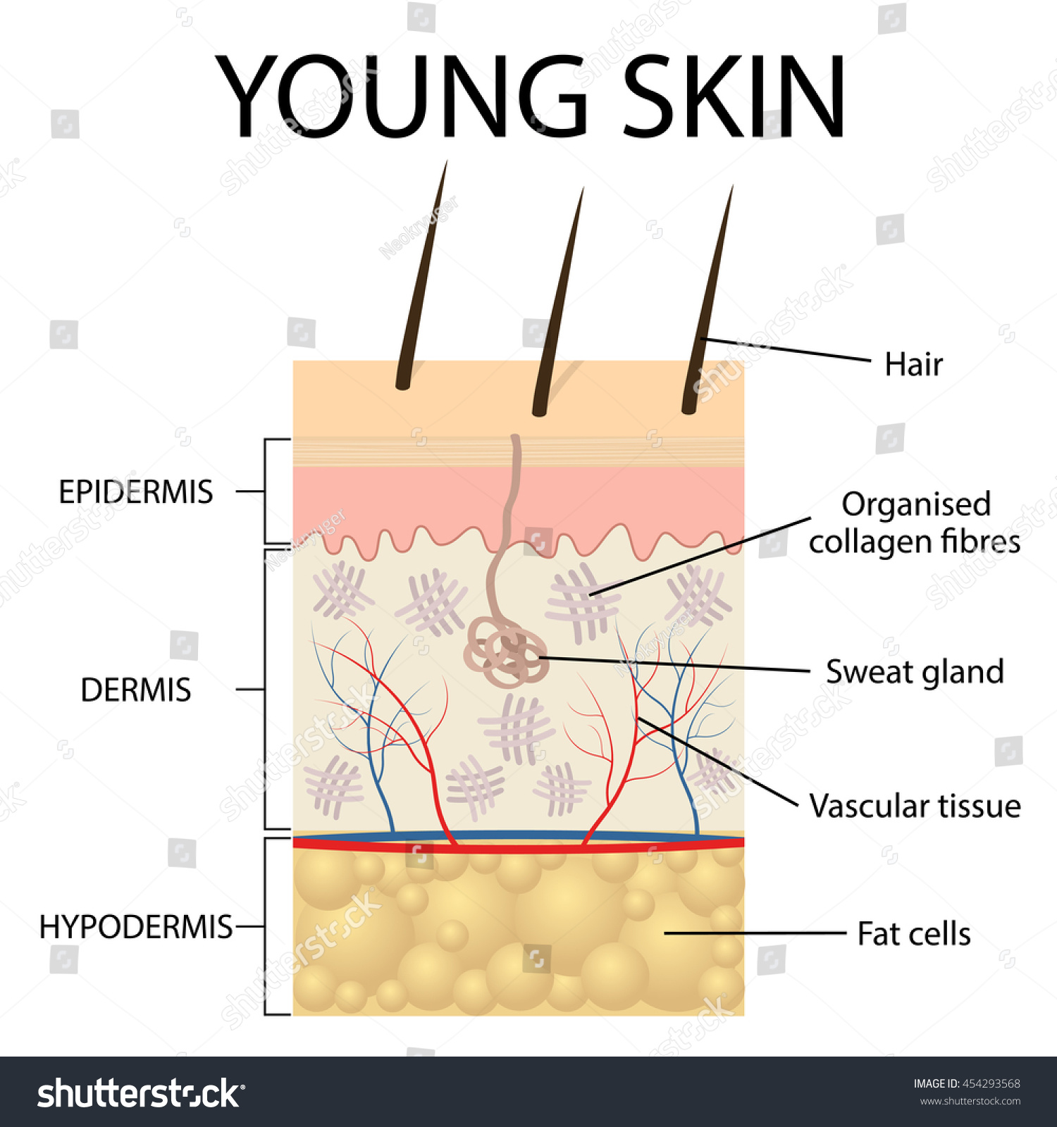 Young Skin Collagen Elastin Form Structure Stock Vector