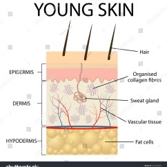 Dermis Layer Diagram 220v Wiring Young Skin Collagen Elastin Form Structure Stock Vector