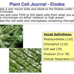 Elodea Leaf Cell Diagram Macbeth Plot Under A Microscope Leafjdi Co