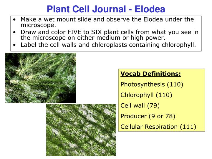 elodea leaf cell diagram baldor motor l1410t wiring label of cells diagrams ppt plant journal powerpoint presentation id 1159196 rh slideserve com microscope