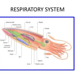 Labeled Squid External Anatomy Diagram Ba Falcon Audio Wiring Circulatory System New Era Of Ppt Powerpoint Presentation Id 1446124 Dissection Internal