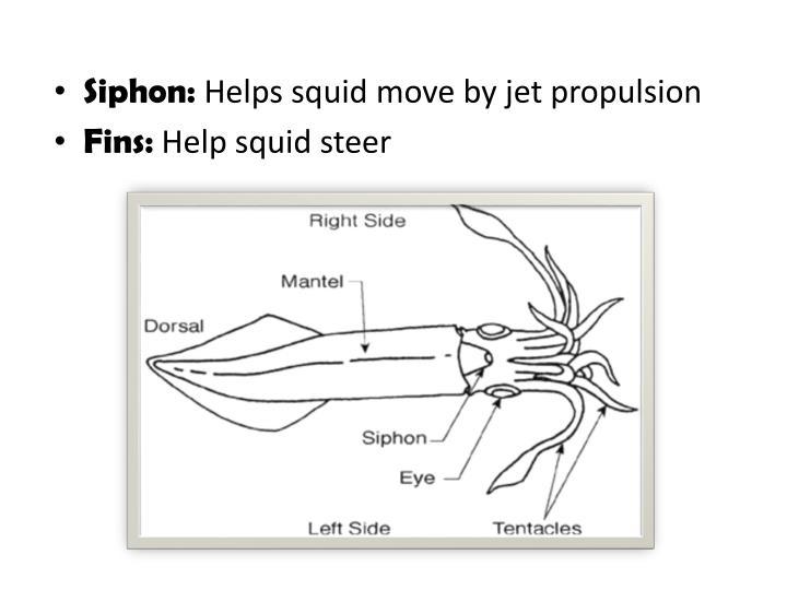 labeled squid external anatomy diagram nissan almera tino radio wiring install internal www mauriciolemus com ppt powerpoint presentation id 1446124 rh slideserve earthworm squids organs