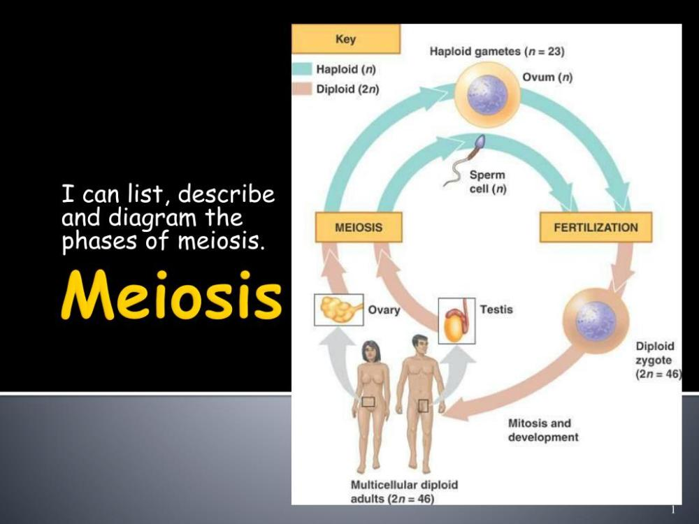 medium resolution of i can list describe and diagram the phases of meiosis n