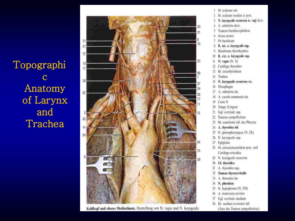 thyroid and larynx anatomy diagram of hypervisor ppt airway complications management after