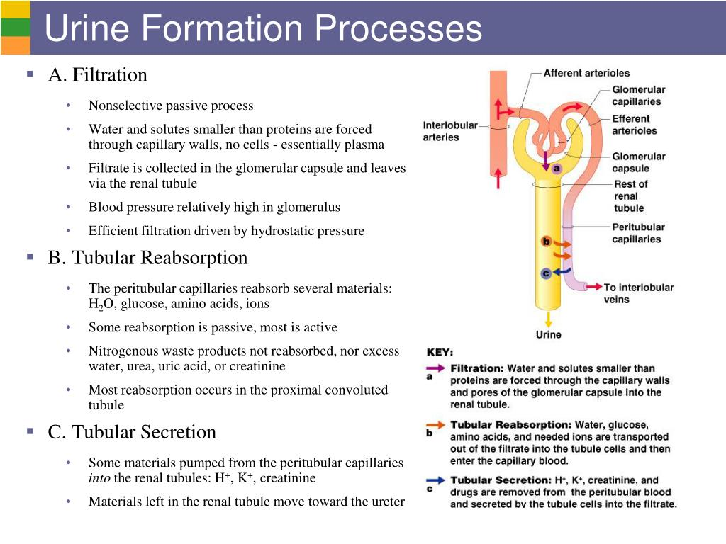 PPT - Urinary System I: Kidneys and Urine Formation ...