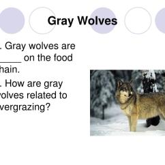 Wolf Food Chain Diagram Input Template Ppt Interactions Of Living Things Powerpoint