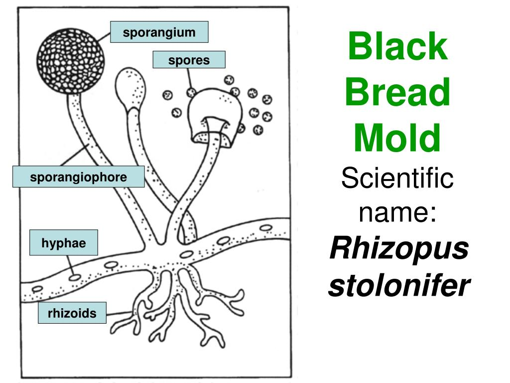 fungus cell diagram labeled 98 ford ranger fuse ppt black bread mold scientific name rhizopus