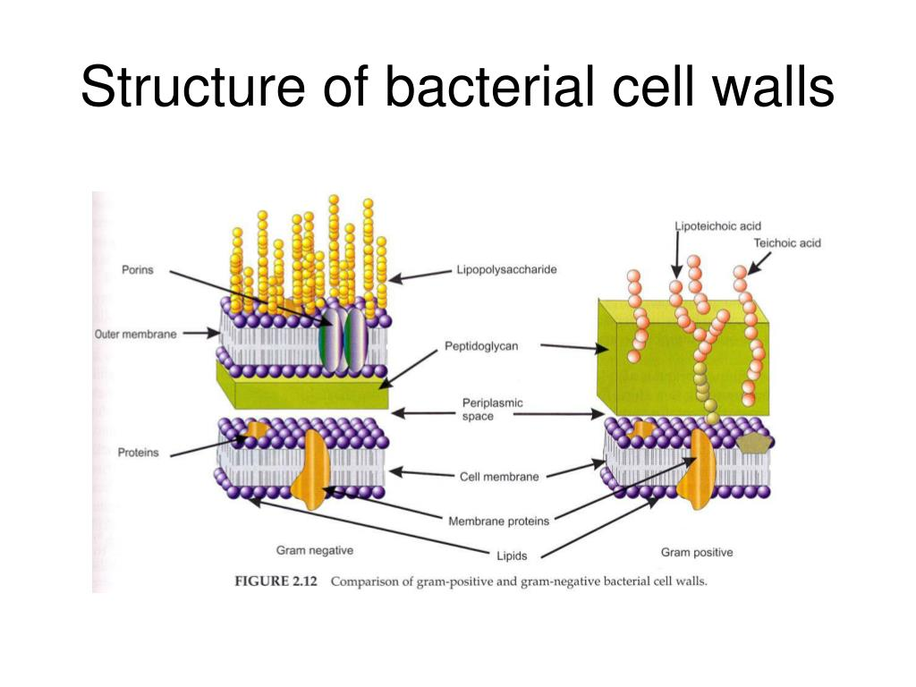 bacterial cell diagram and functions ansul system relay ppt principle of disinfection powerpoint presentation