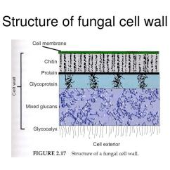 Fungus Cell Diagram Labeled 12 Volt Tractor Alternator Wiring Fungi Wall Composition Pictures To Pin On Pinterest