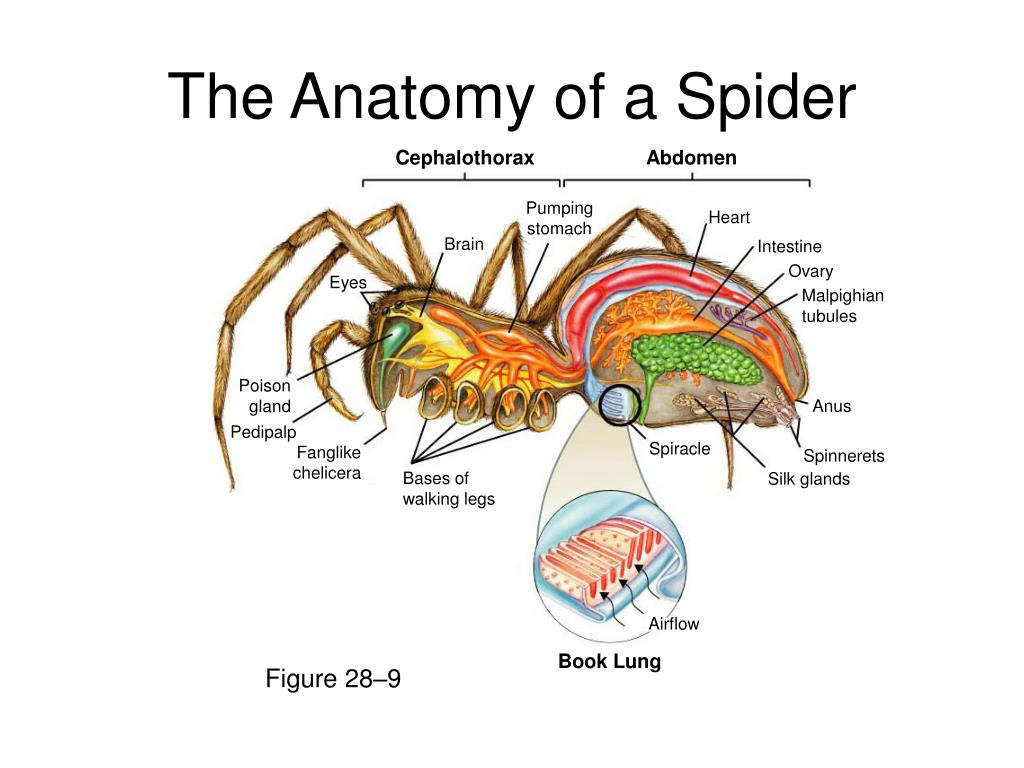 crab anatomy diagram sony head unit wiring spider related keywords