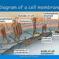 Diagram Of Fluid Mosaic Model Cell Membrane 1988 Honda Accord Fuel Pump Wiring Ppt As Biology Foundation Chapter 4 Membranes And