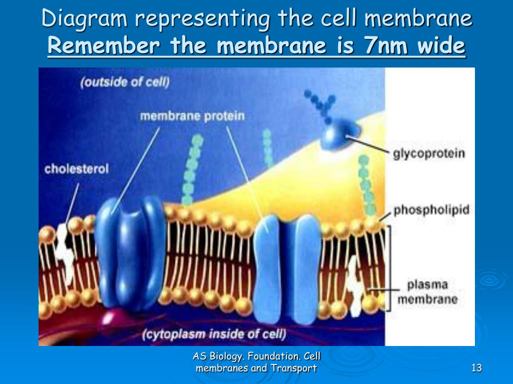 diagram of fluid mosaic model cell membrane wiring doorbell ppt as biology foundation chapter 4 membranes and