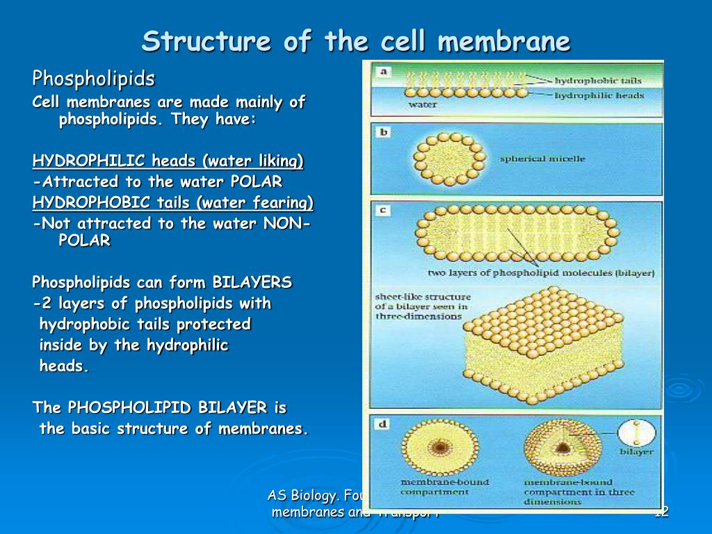 cell membrane diagram polaris wiring snowmobile ppt as biology foundation chapter 4 membranes and