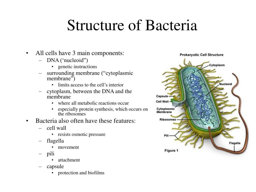 bacterial cell diagram and functions net of triangular prism ppt structure powerpoint presentation id 202455