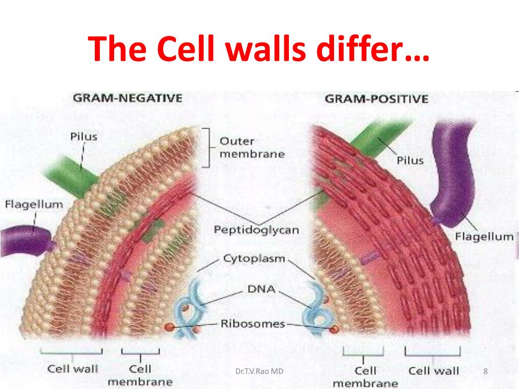 gram positive cell wall diagram ac wiring ppt staining and clinical uses powerpoint