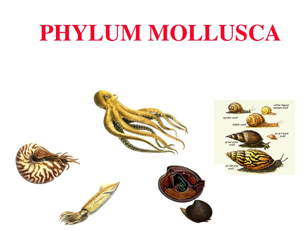mollusca diagram labeled yamaha mio mx 125 wiring ppt phylum powerpoint presentation id 208276