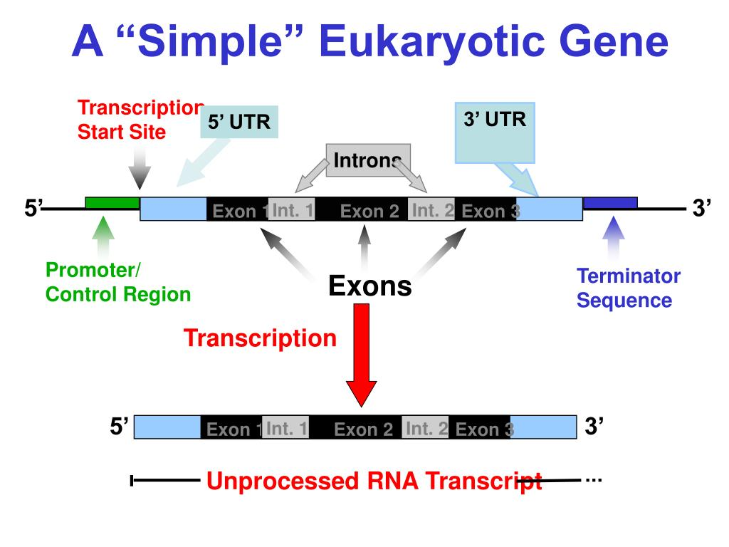 The Gallery For Gt Eukaryotic Gene Structure