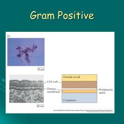 Gram Positive Cell Wall Diagram Led Dimmer Switch Wiring Ppt Prokaryote Structure And Function Powerpoint