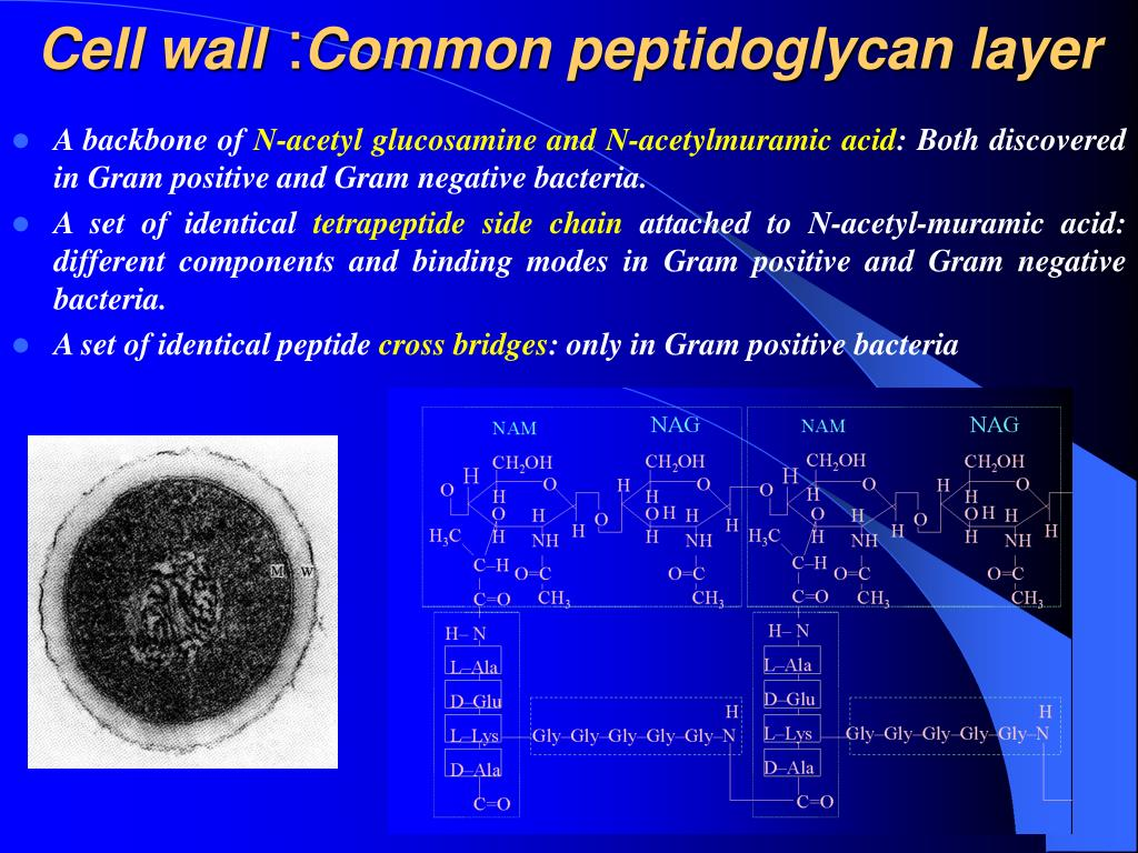 gram positive cell wall diagram 2003 international 4300 a c wiring ppt bacterial morphology and structure powerpoint