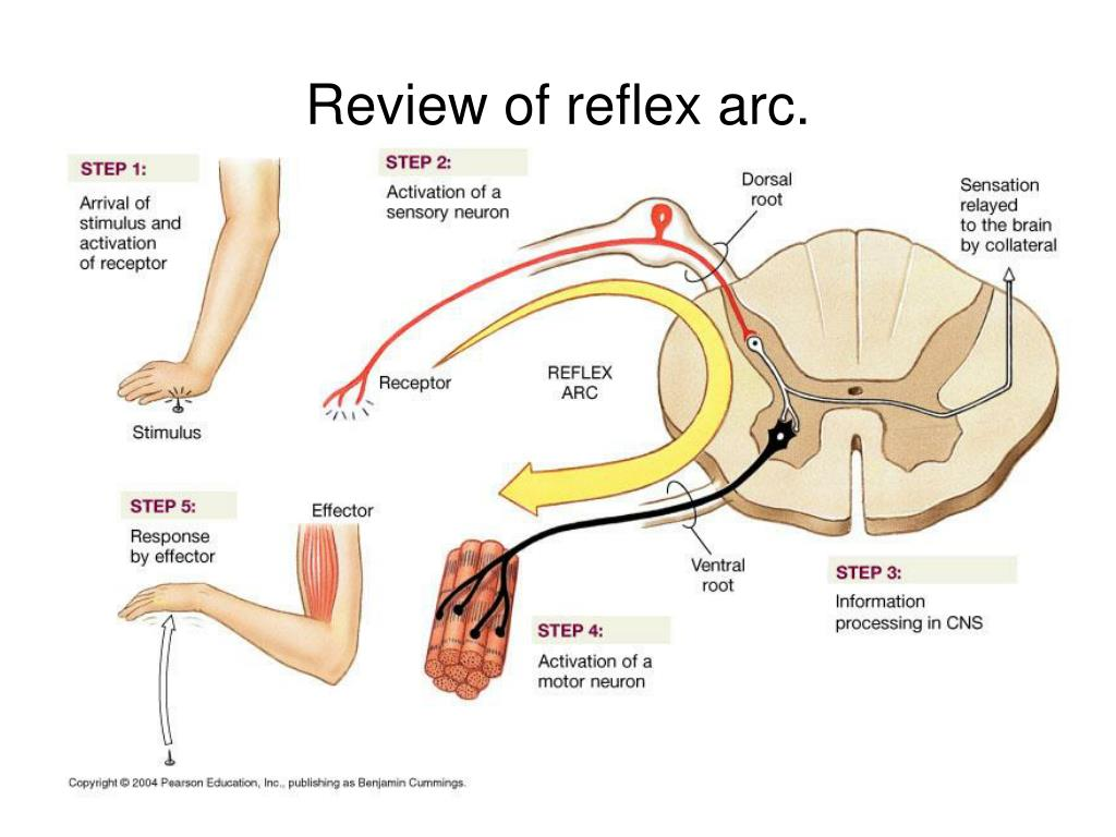 diagram of a simple reflex arc 110 wiring ppt review powerpoint presentation id