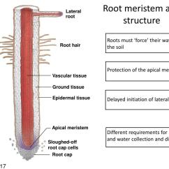 Plant Root Hair Diagram Venn Problems And Answers Ppt The Eudicot Morphology Meristems Cell Types