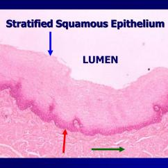 Stratified Columnar Epithelium Diagram 1999 Toyota Tacoma Parts Ppt Lab Exercise Classification Of Tissues Epithelial