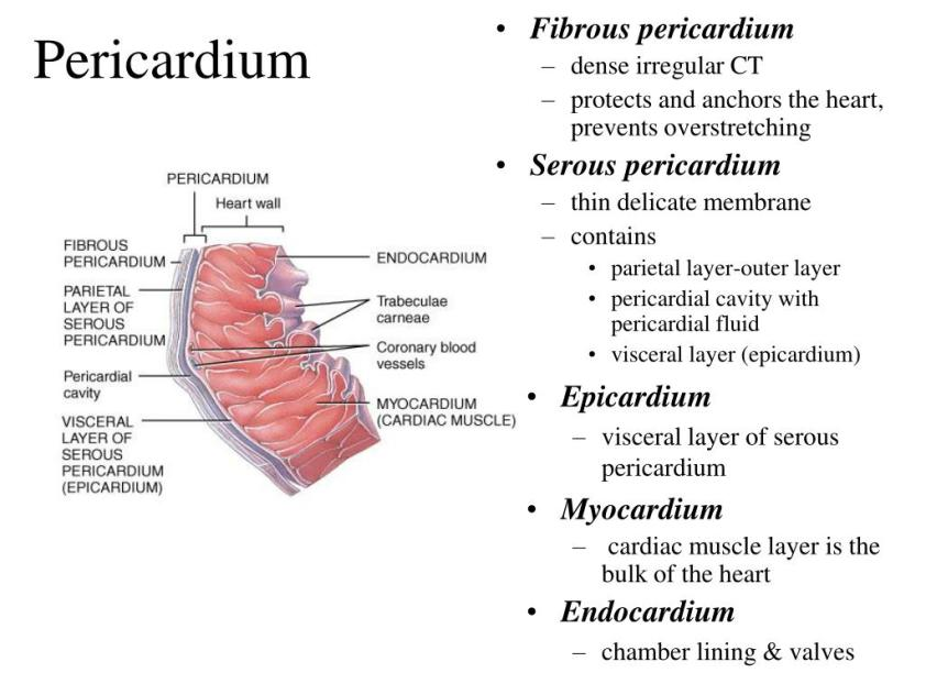 PPT - The Cardiovascular System: The Heart PowerPoint ...