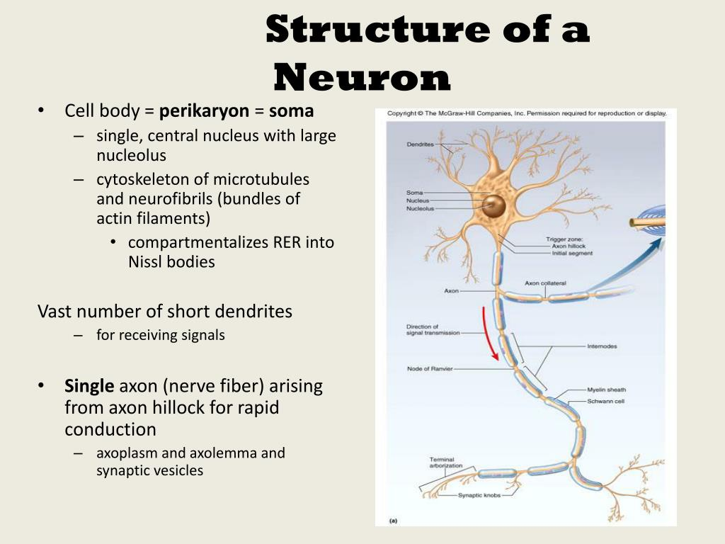 basic neuron diagram three phase induction motor ms6312 ppt subdivisions of nervous system powerpoint
