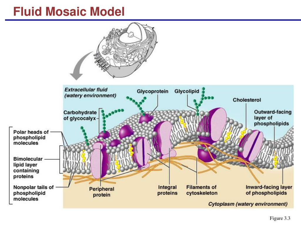 diagram of fluid mosaic model cell membrane warn winch xdc schaltplan ppt powerpoint presentation id 315477