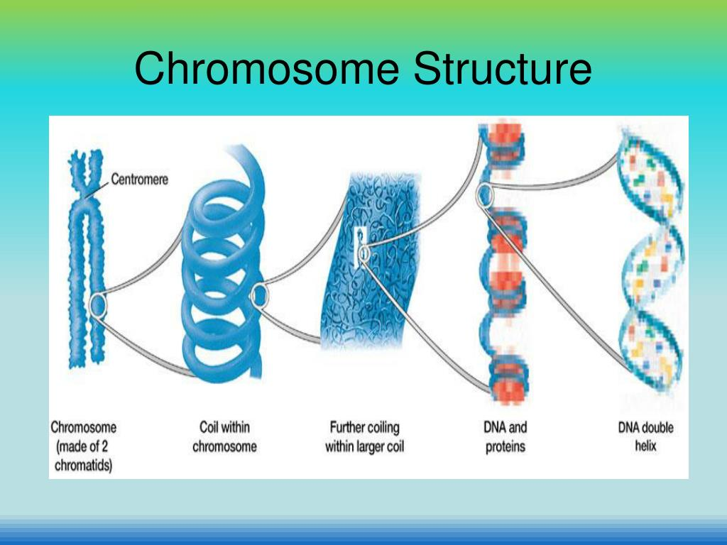 chromosome structure diagram single phase reversing motor starter wiring ppt chapter 8 cell reproduction powerpoint presentation