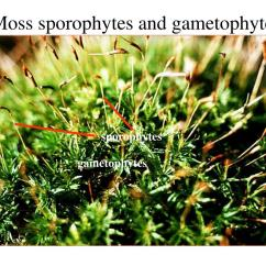 Moss Diagram Labeled French Braid Sporophyte And Gametophyte Related Keywords