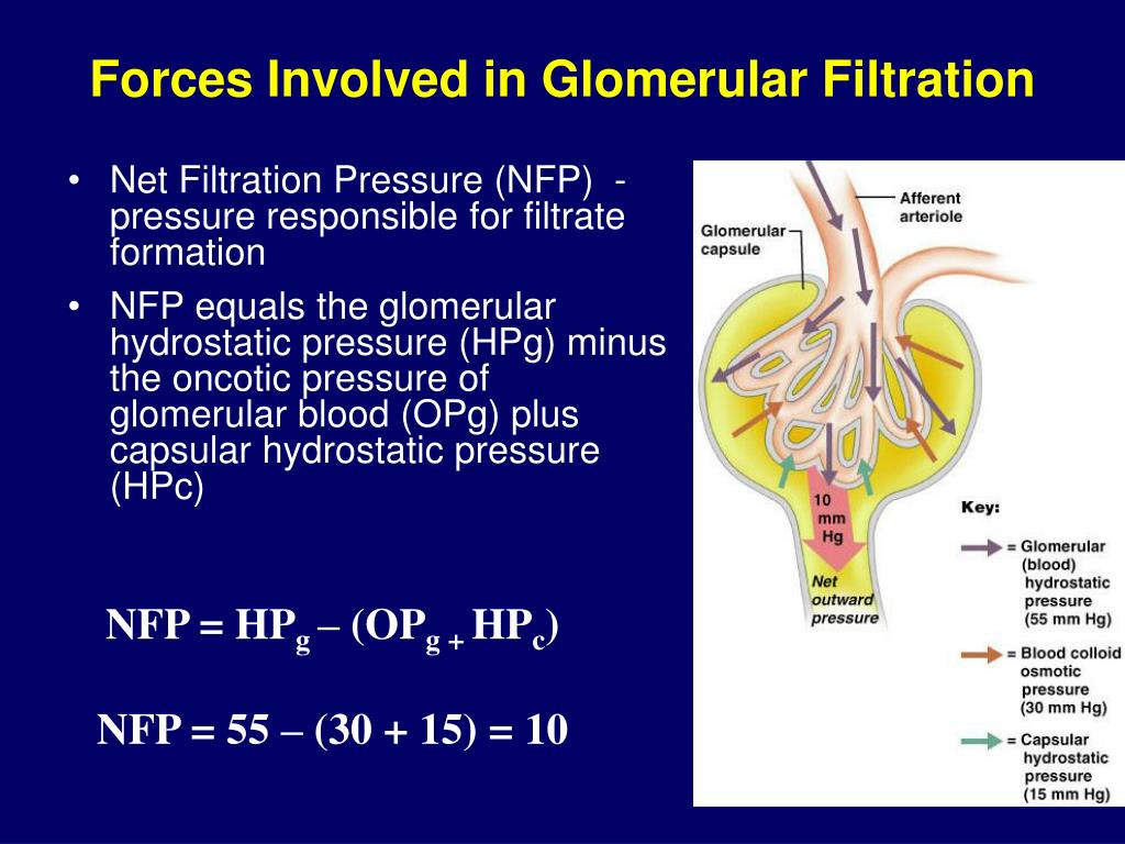 PPT - Renal Physiology PowerPoint Presentation - ID:332876