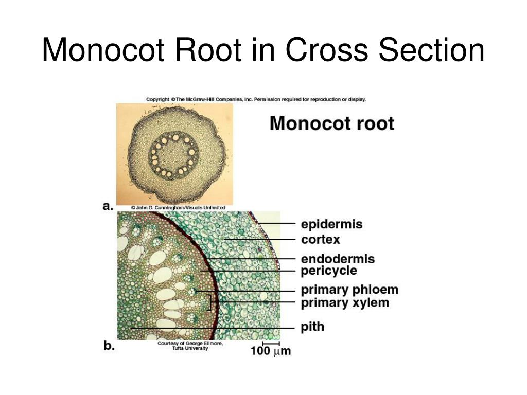 monocot root cross section diagram kenwood excelon stereo wiring pictures to pin on pinterest
